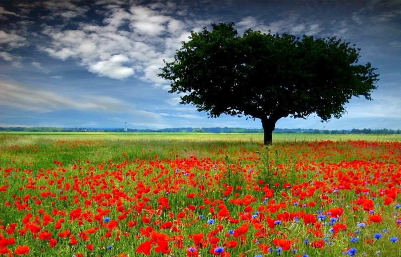 A poppy field with a large tree and blue sky in the background