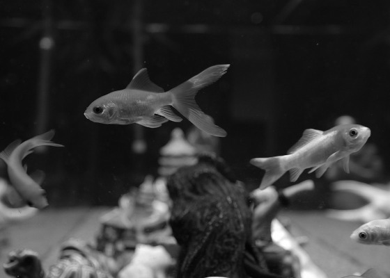 Goldfish black and white