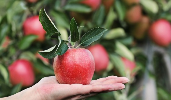 A hand holding a ripe red apple